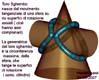 toro sghembo tangente due superfici di rotazione assiali e non hanno nessuna sfera in comune
